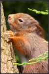 The Sleepy Red Squirrel by nitsch