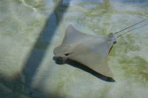 stingray by MLeighS