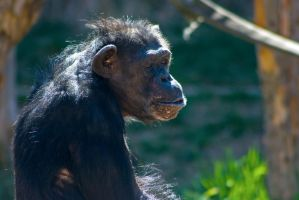 chimp40 by redbeard31