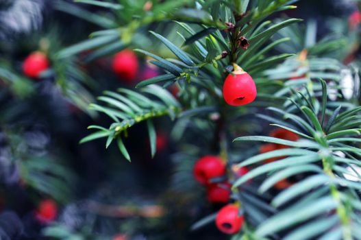 Conifer by Lodchen-Photography