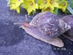 Snail 15 by achatinastock
