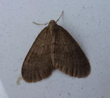 Male Winter Moth at Front Door by SrTw