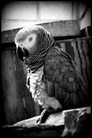 African Grey Parrot by IllumAdora