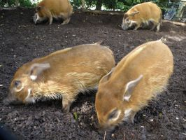 Blijdorp Zoo Pigs 4 by Sabrina7777