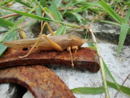 Brown Cricket by SuperMetroid2