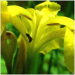 Yellow Iris with Insect Friend by Coatlique