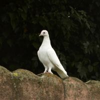 Pigeon by Roky320