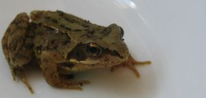 Small Frog by 666squirrelOFdeath