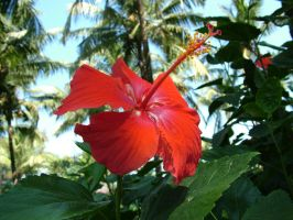 Hibiscus4 by RixResources
