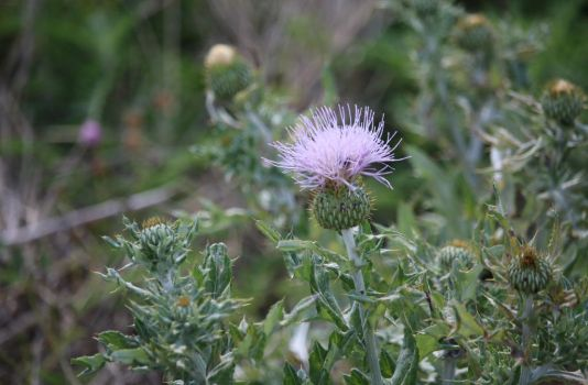 Lavender Thistle by MoozieBerry