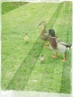 Mum, Dad and Baby Ducklings by Scrubs3