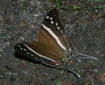 Daggerwing Butterfly - Marpesia crethon by segraser
