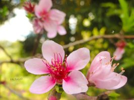 Cherry Blossom by John-Peter