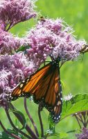 Monarch Butterfly 6 by Penny-Stock