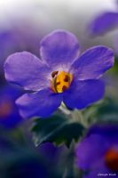 Bacopa Blue by George---Kirk