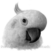 Cockatoo sketch 2 by emmil