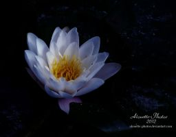 water lily by Alouette-Photos