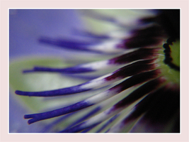 Passionflower I by webworm