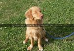Nova Scotia Ducktolling Retriever by Angelic-Fighter