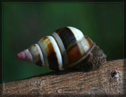 Florida Tree Snail 40D0001098 by Cristian-M