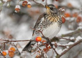 Fieldfare by Albi748