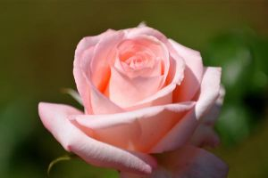 Rose by Spedding-Stock