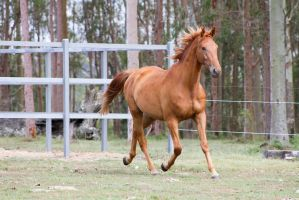 Dn WB chestnut trot front 3/4 by Chunga-Stock