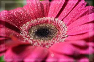 My Gerbera Glow by IgniteImagery