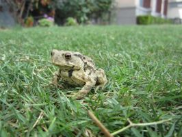 Wildlife of Shanghai 1- Asiatic Toad by Cypselurus