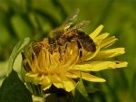 Bees and Dandelion by praveenpankaj