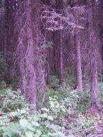 purple forest stock by Aphoticbeauty