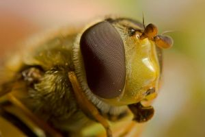 hoverfly close-up by buleria