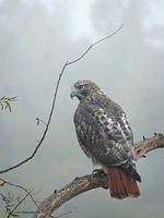 Redtailed Hawk Portrait: Intimate Autumn by Mogrianne