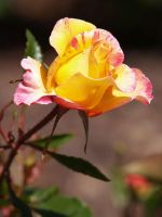 A Rose By Any Other Name... by LadyLaw