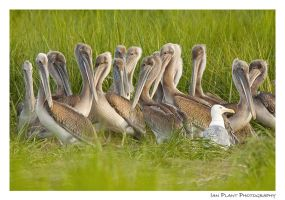 Pelican Huddle by Ian-Plant