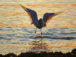 Thin Winged Seagull by wolfwings1