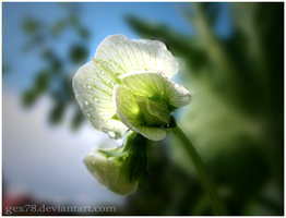 pea flower by Gex78