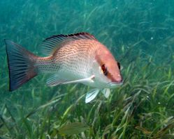 Fish - Gray Snapper 2 by Lauren-Lee