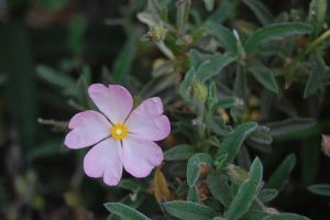 Small Pink Flower by Megnificant-Stock