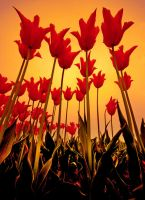 the imperial of tulips by berkerr