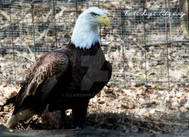 Eagle by kllawson14