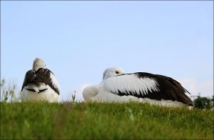 Pelicans. by Evey-Eyes