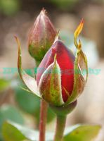Rose Buds by elieloox