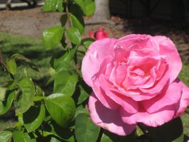Pink Rose by mousebouse