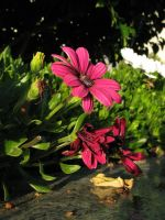Pink African Daisy by plutoplus1
