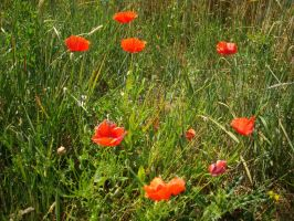 -Coquelicots- by BeyondTheWords
