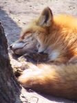 Red Fox 04 by FoxRAGE-Stock
