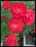 Red flowers No. 1 by slephoto
