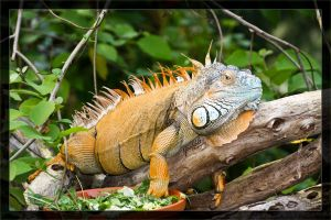 Iguana right side by deaconfrost78