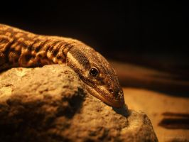 Ridge Tailed Monitor by Illirik